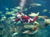Морской Санта в аквариуме с рыбами